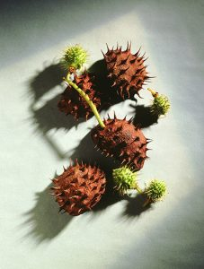 chestnuts_1