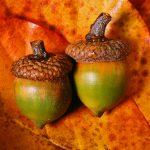 two-acorns