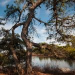 Pitch pine by Lake Awosting